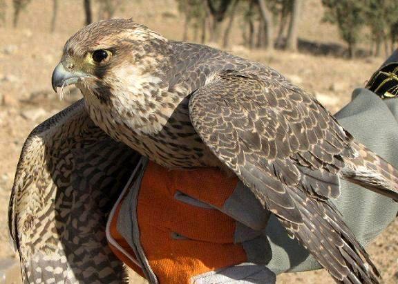 رهاسازی یک پرنده دلیجه در  پناهگاه حیات وحش قمیشلو