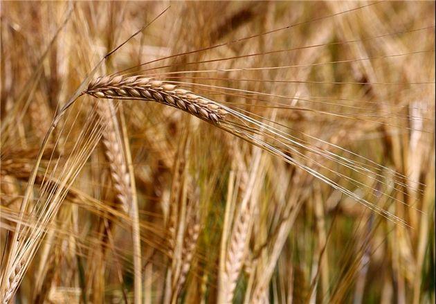 بیش از ۷۰ هزار تن محصول جو از کشاورزان لرستان خریداری شد