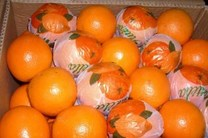 پرتقال تامسون در صدر صادرات مرکبات