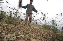 سم پاشی ملخهای صحرایی را تار و مار کرد
