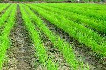 خشکهکاری برنج بر کیفیت محصول هنگام کشت تاثیر ندارد