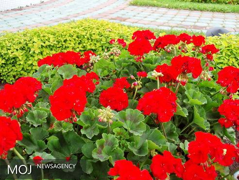 دومین جشنواره گل های شمعدانی در پارک توحید رشت