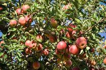 کاهش 50 درصدی برداشت سیب از باغات سمیرم