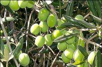 پیش بینی برداشت بیش از 750 تن زیتون از باغات استان اصفهان