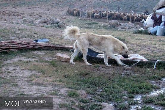 سگ گله مرگ پسر بچه ۹ ساله را رقم زد