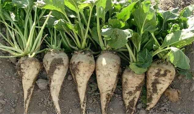 پیش بینی برداشت بیش از 50 تن چغندر قند پاییزه در برخوار