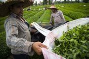 ممنوعیت صادرات چای نیازمند تجدیدنظر است