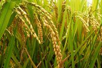 برداشت برنج در ۴۰۰۰ هکتار شالیزار مازندران
