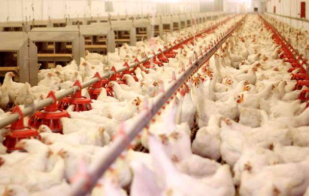 ابعاد مرغ باید استاندارد باشد