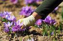 پیش بینی برداشت بیش از 8 هزار کیلو زعفران در استان اصفهان