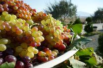 ایران ؛هشتمین تولیدکننده انگور در جهان است