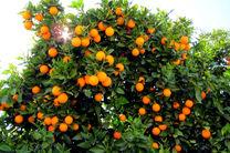 برداشت ۶۰ هزار تن پرتقال از باغات هرمزگان