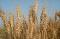 امسال تولیدات کشاورزی افزایش می یابد/ تمام سیلوهای کشور امکان ذخیره سازی مکانیزه گندم را ندارد