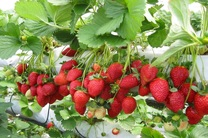 برداشت 401 تن توت فرنگی  از سوی باغداران گیلانی