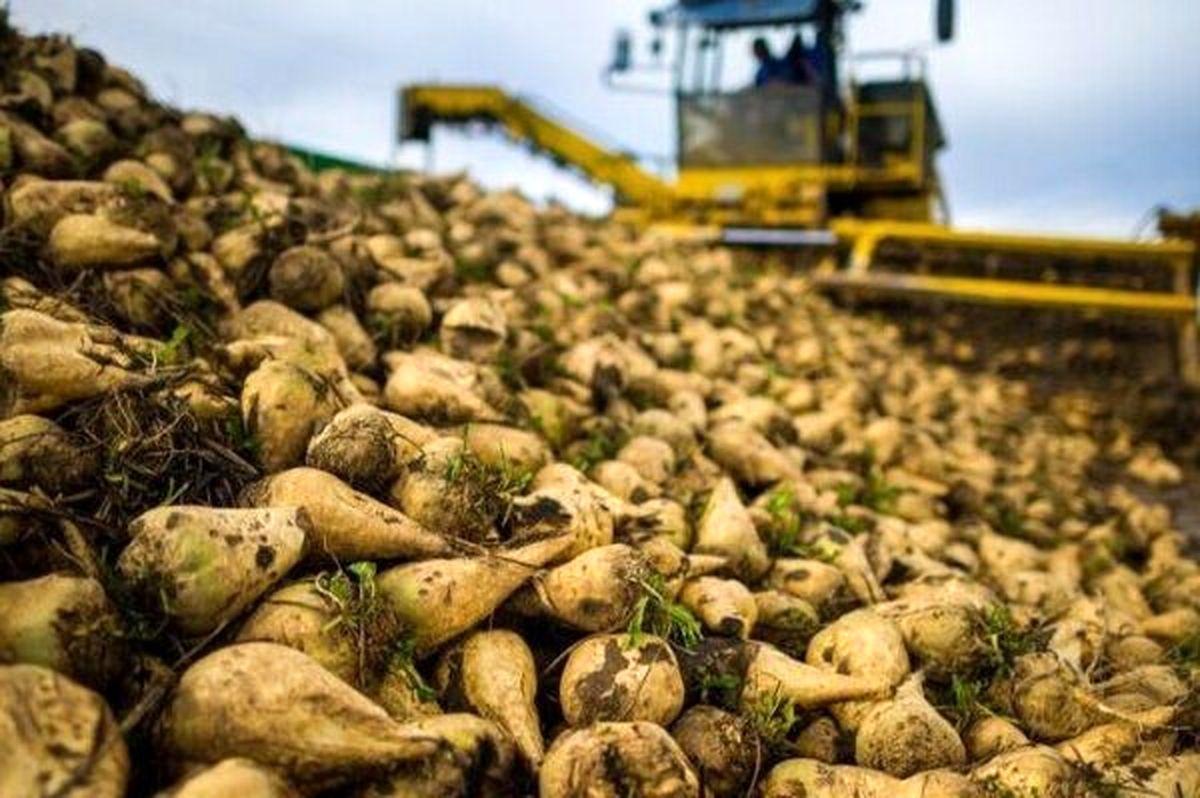 آغاز برداشت چغندر قند ازاراضی کشاورزی تربت حیدریه